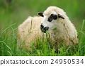 羊 綿羊 動物 24950534