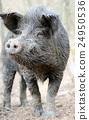Wild boar 24950536