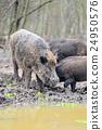 Wild boar 24950576