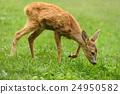 Baby deer 24950582