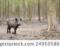 Wild boar 24950586