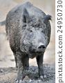 Wild boar 24950730