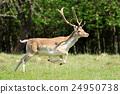 Roe deer 24950738