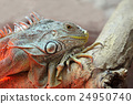 Iguana 24950740