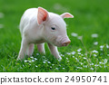 Young pig 24950741