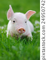 Young pig on a green grass 24950742