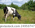 Cow in meadow 24950747