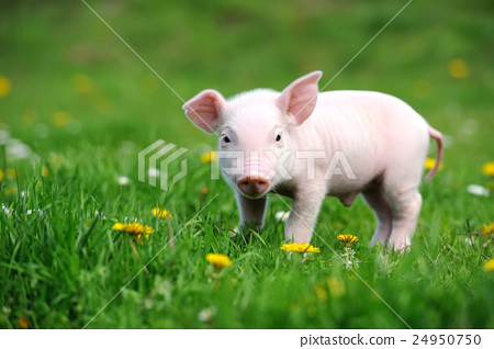 Young pig on a green grass 24950750