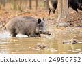 Wild boar 24950752