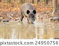 Wild boar 24950756