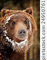Bear 24950761