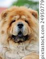 Chow Chow portrait 24950779