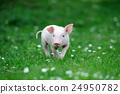 Young pig 24950782