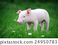 Young pig on a green grass 24950783