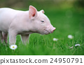 Young pig on a green grass 24950791