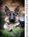 German shepherd dog portrait 24950834