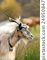 Goat in meadow 24950847