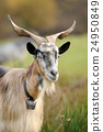 Goat in meadow 24950849