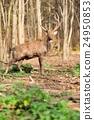 Deer 24950853