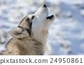 Siberian husky dog 24950861