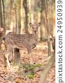 Deer in autumn forest 24950939