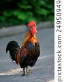 chicken, rooster, bird 24950949