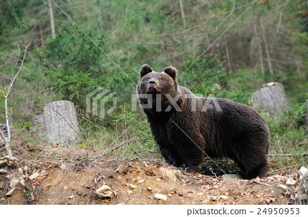 Brown bear 24950953