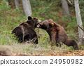 bear, brown, animal 24950982
