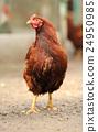 avian, bird, chicken 24950985