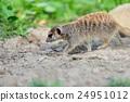 Meerkat 24951012