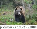 forest, wild, aggressive 24951088