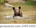 bear, animal, brown 24951093