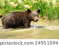 bear, animal, brown 24951094
