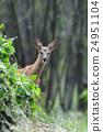 Deer 24951104