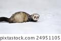 Wild ferret in snow 24951105