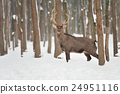 Deer 24951116
