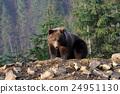 bear, brown, animal 24951130