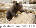 animal, bear, cub 24951131