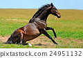 Horse 24951132