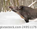 Wild boar 24951176