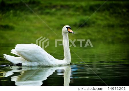 Swan 24951201