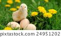 Little chicken 24951202