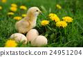 Little chicken 24951204