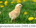 Little chicken 24951206