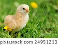Little chicken 24951213