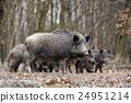 Wild boar 24951214