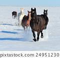 Horse 24951230