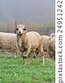 Sheep 24951242