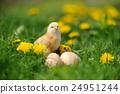 Little chicken 24951244