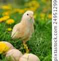 bird, chicken, chick 24951299